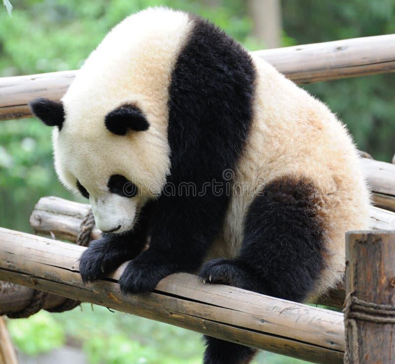 dziecko panda obraz royalty free