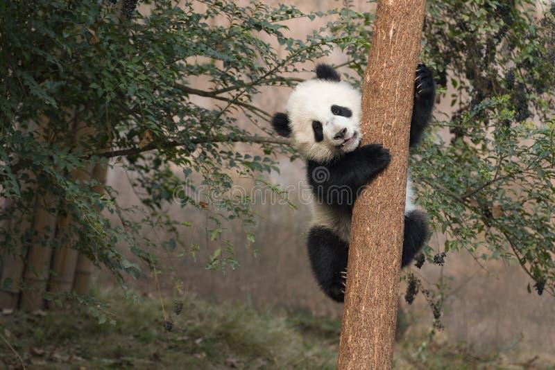 Dziecko panda zdjęcie royalty free