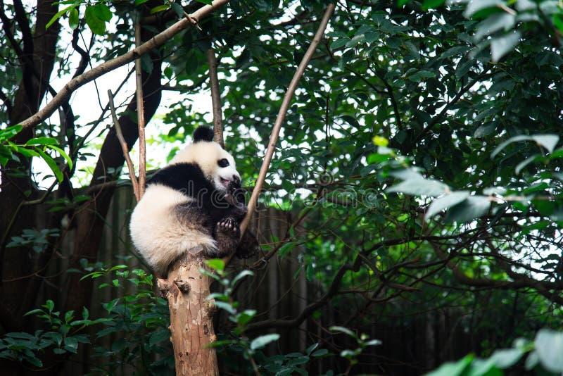 Dziecko panda na drzewie w Chengdu, Chiny obrazy stock