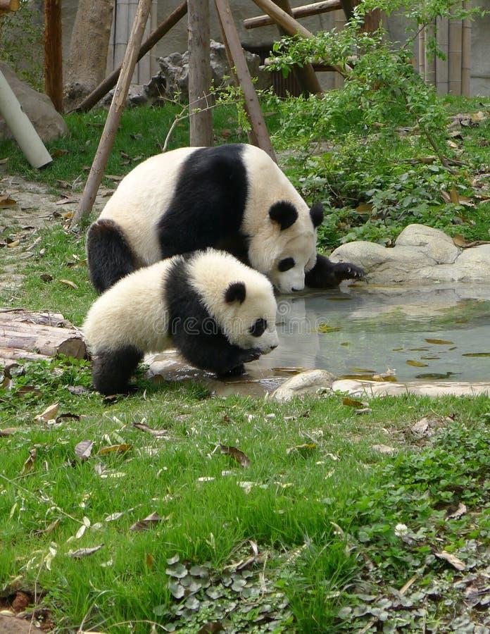 Dziecko panda z macierzystą wodą pitną obrazy royalty free