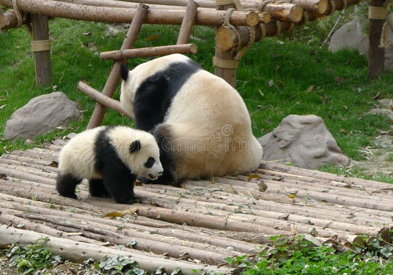 Dziecko panda z matką obraz stock