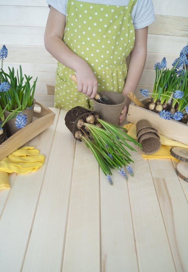 Dziecko przeflancowywa kwiatu Wiosna Proces rośliny przeszczepienie fotografia stock