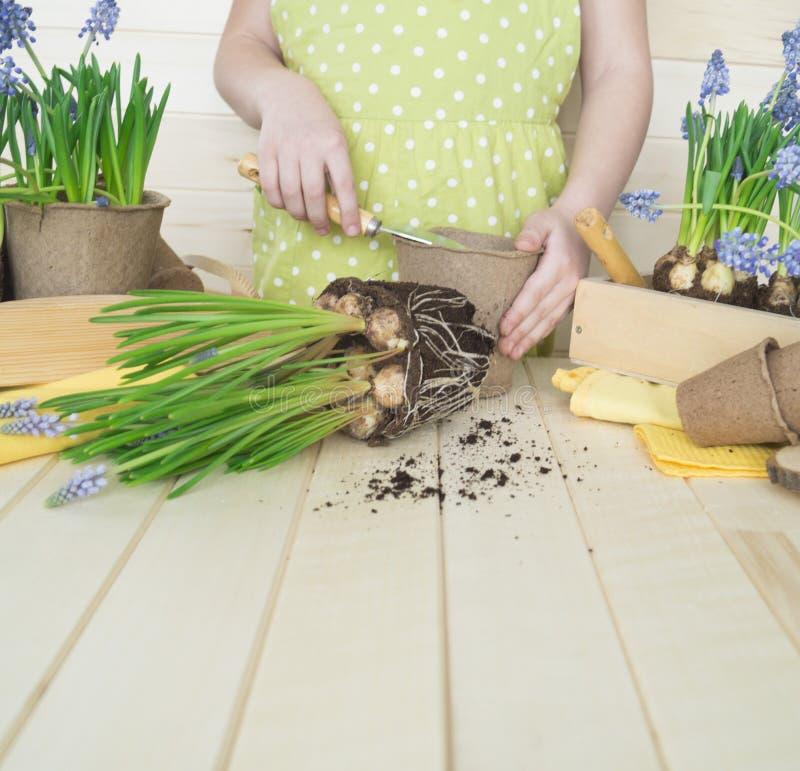 Dziecko przeflancowywa kwiatu Wiosna Proces rośliny przeszczepienie zdjęcia stock