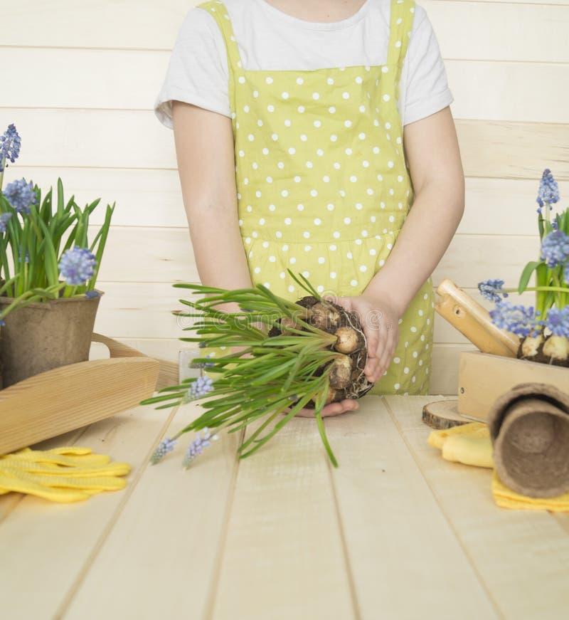 Dziecko przeflancowywa kwiatu Wiosna Proces rośliny przeszczepienie obraz royalty free