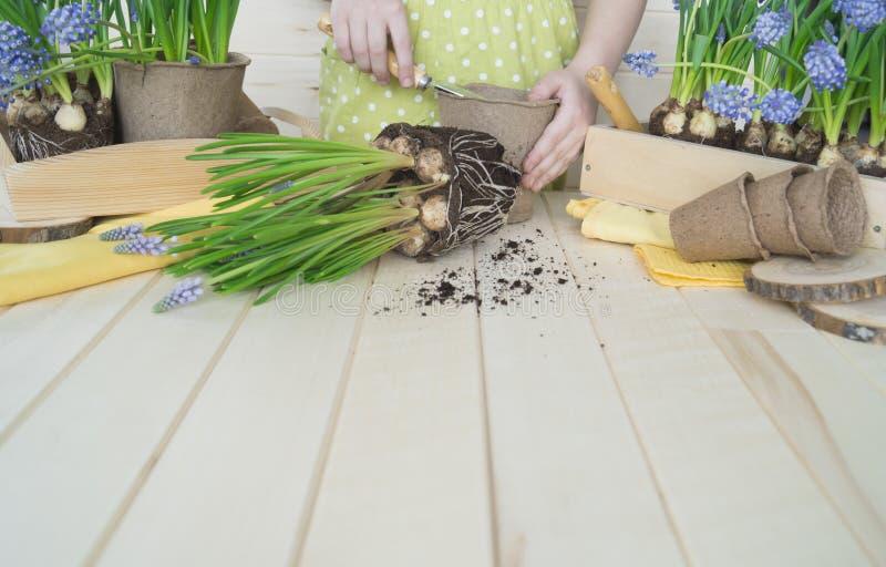 Dziecko przeflancowywa kwiatu Wiosna Proces rośliny przeszczepienie zdjęcia royalty free