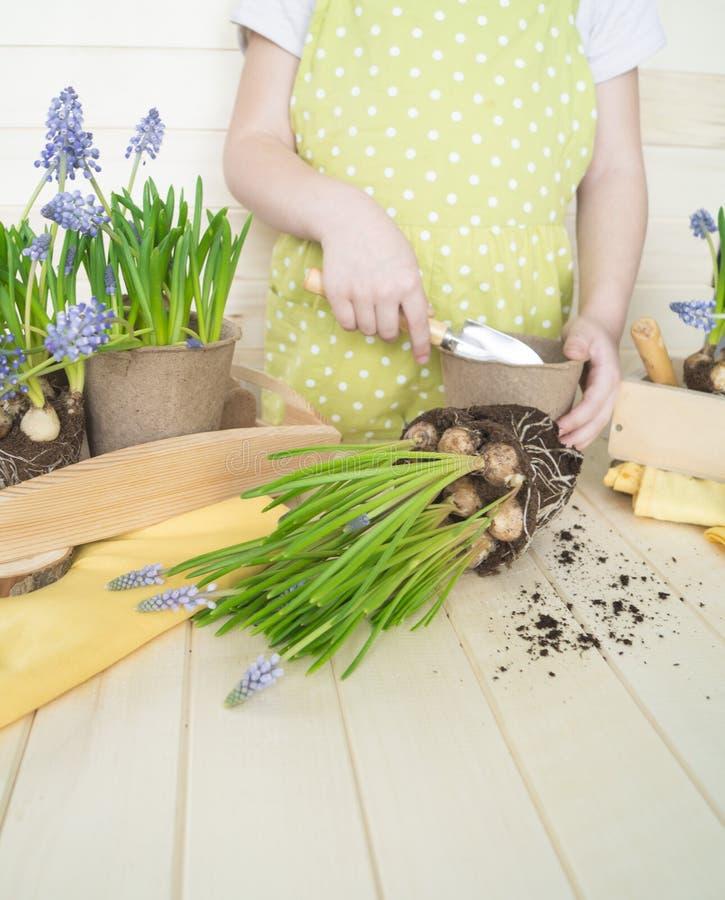 Dziecko przeflancowywa kwiatu Wiosna Proces rośliny przeszczepienie obrazy stock