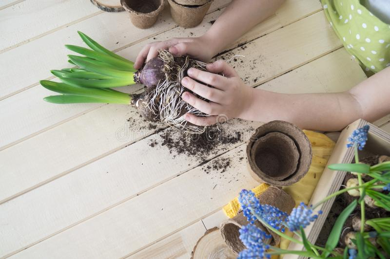 Dziecko przeflancowywa kwiatu Wiosna Proces rośliny przeszczepienie fotografia royalty free
