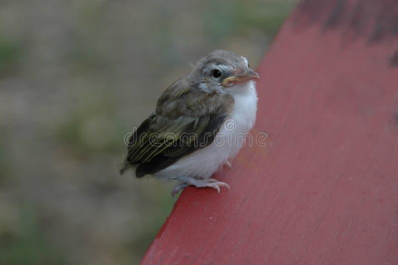 Dziecko ptak Właśnie Siedzi na ławce fotografia royalty free