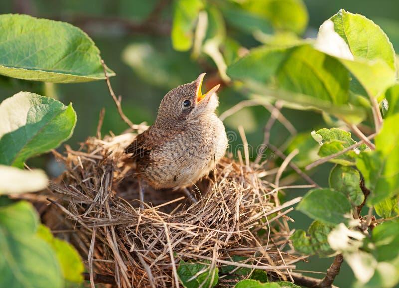 Dziecko ptak w gniazdeczku zdjęcie stock