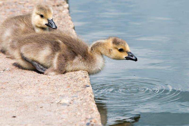 Dziecko ptaki siedzi wodą na brzeg rzeki obraz royalty free