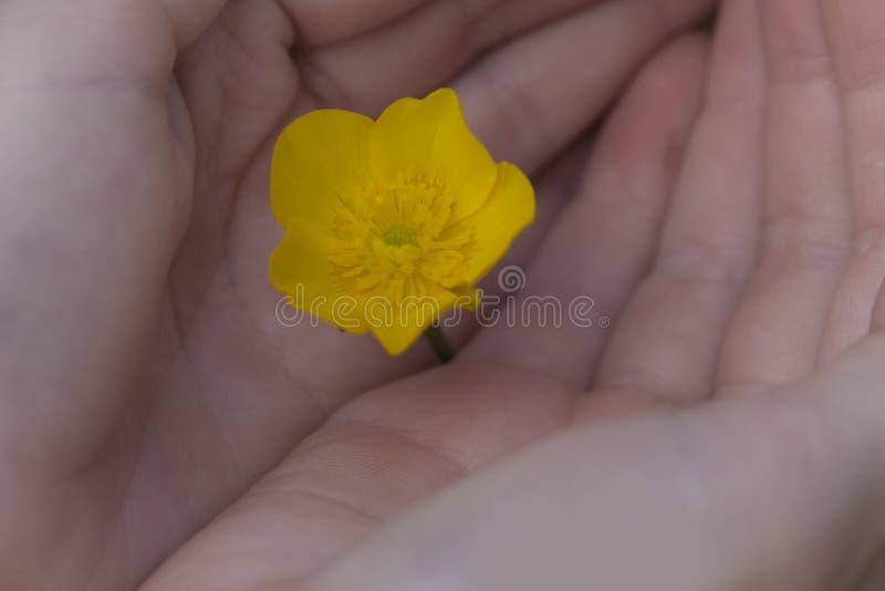 Dziecko ręki Trzyma małego żółtego kwiatu zdjęcia royalty free