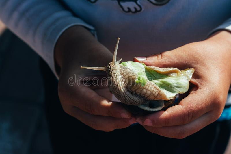 Dziecko ręki trzymają ślimaczka który je zielonej sałatki fotografia stock