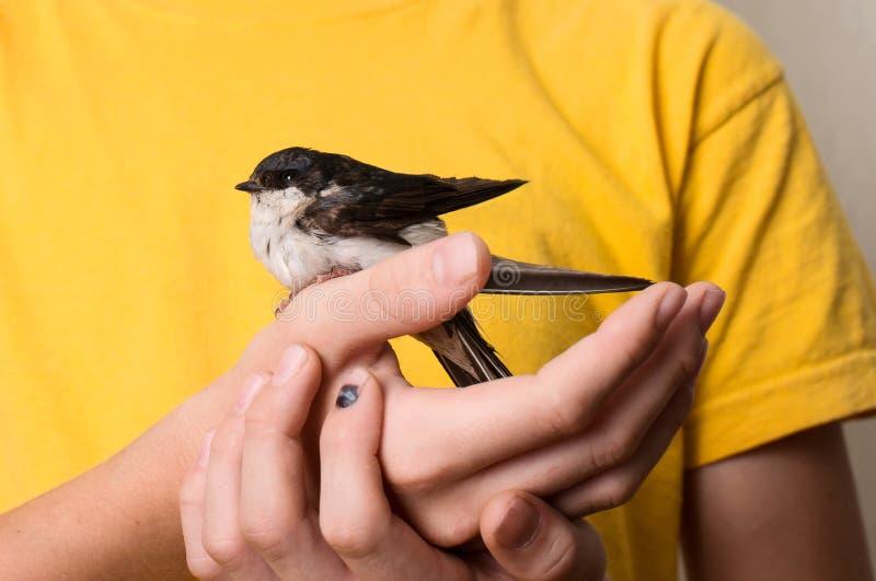 Dziecko ręki z zdradzonym dymówka ptaka zakończeniem up Ratować dzikiego ptaka zdjęcia royalty free