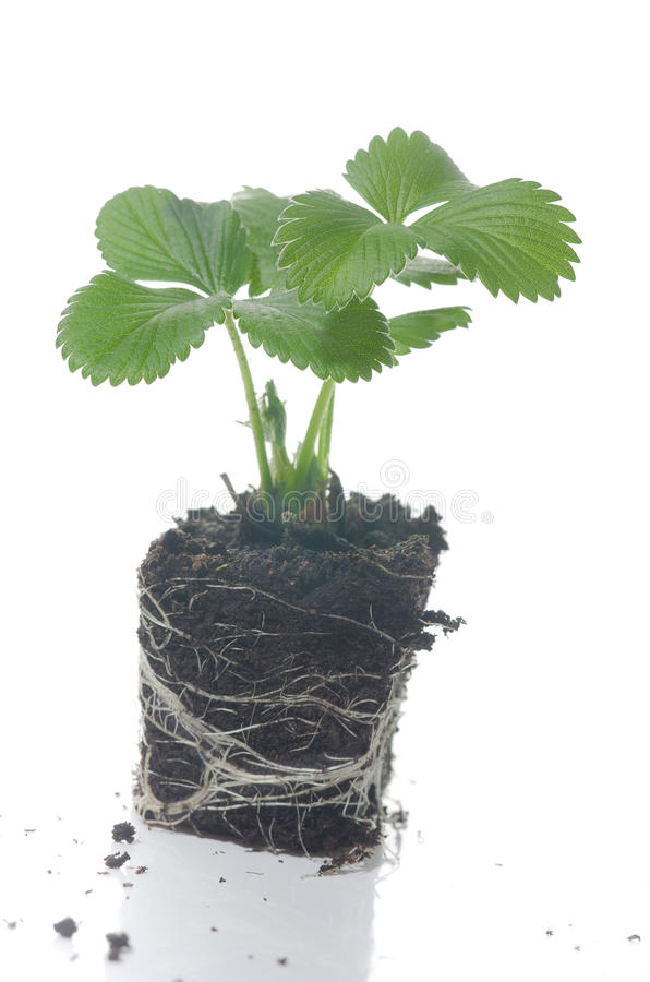 Dziecko rośliny truskawka obrazy royalty free
