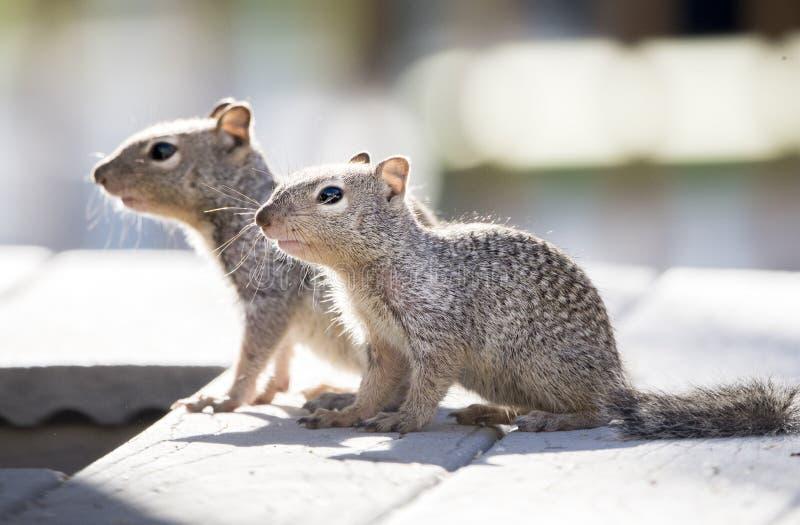 Dziecko Rockowe wiewiórki, Tucson Arizona obrazy royalty free