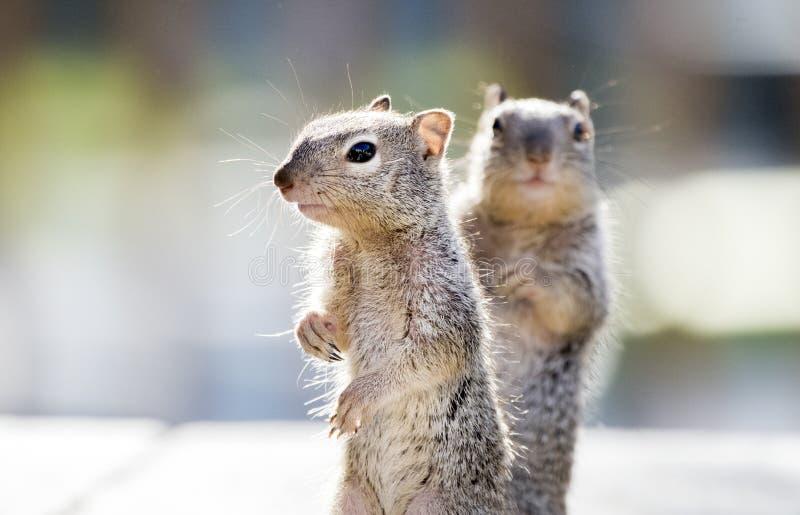 Dziecko Rockowe wiewiórki, Tucson Arizona zdjęcie stock