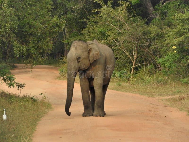 Dziecko słoń chodzi w zielonej dżungli na jasnym słonecznym dniu w Yala parku narodowym w Sri Lanka obrazy royalty free