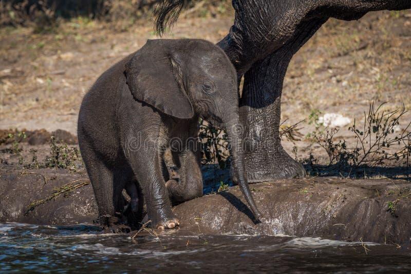 Dziecko słoń klęczy na riverbank obok matki fotografia stock