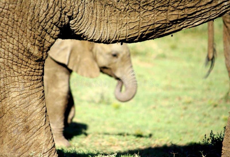dziecko słoń nóg jej matki zdjęcia royalty free