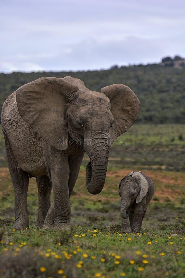 Dziecko słoń z matką obok each inny w obszarze trawiastym z żółtymi kwiatami zdjęcia royalty free