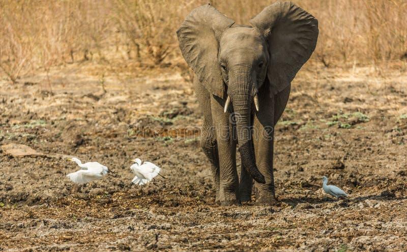 Dziecko słonia cyzelatorstwa ptaki zdjęcia stock