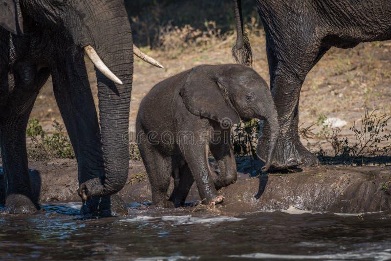 Dziecko słonia klęczenie na riverbank obok matki obraz royalty free
