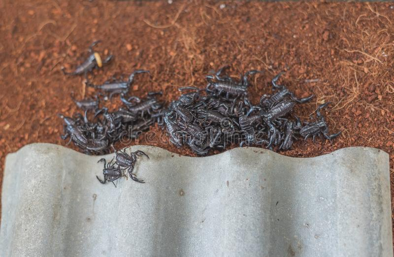 dziecko skorpiony na ziemi obraz stock