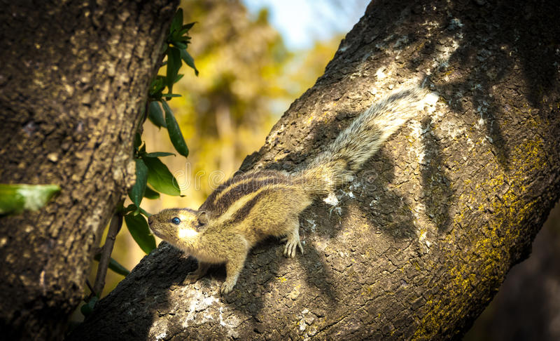Dziecko Squirral na drzewie zdjęcie royalty free
