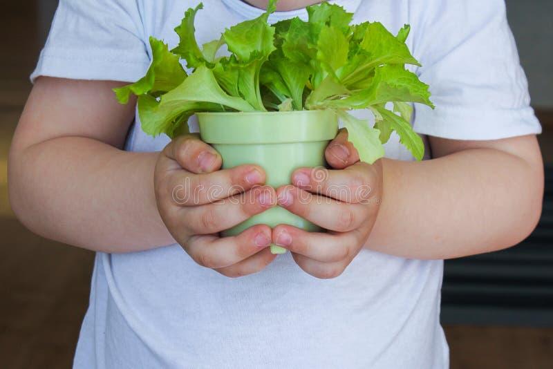 Dziecko trzyma garnek świeżej sałatki zdrowa, zdrowa, wegetariańska żywność zbliżenie, zdjęcie wiosenne z rośliną zdjęcia royalty free