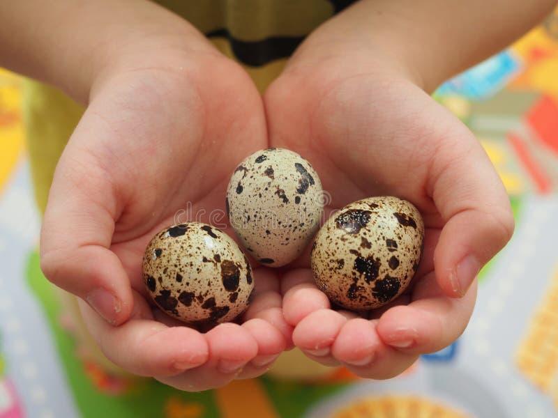 Dziecko trzyma trzy przepiórki jajka w małych rękach obrazy stock