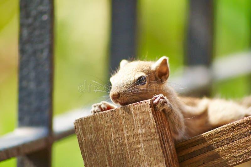 Dziecko wiewiórki Pozować zdjęcie stock
