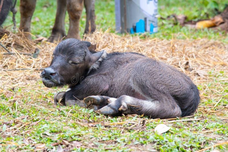 Dziecko wodnego bizonu dosypianie zdjęcia stock