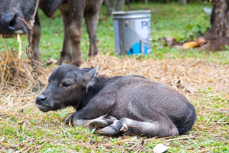 Dziecko wodnego bizonu dosypianie fotografia stock