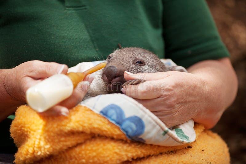 Dziecko Wombat obraz stock