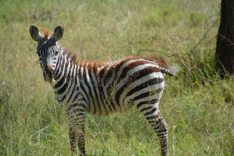 Dziecko zebra na równinach Afryka obraz stock