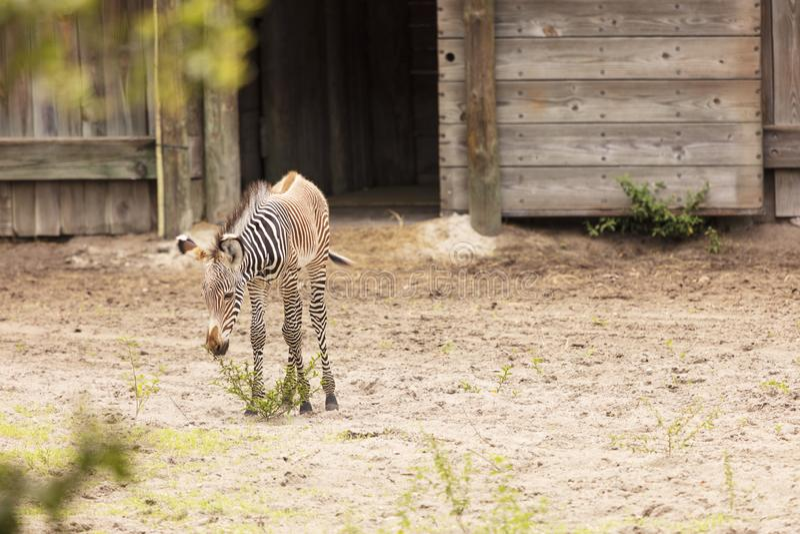Dziecko zebry łasowania roślinność w stajnia jardzie zdjęcie royalty free