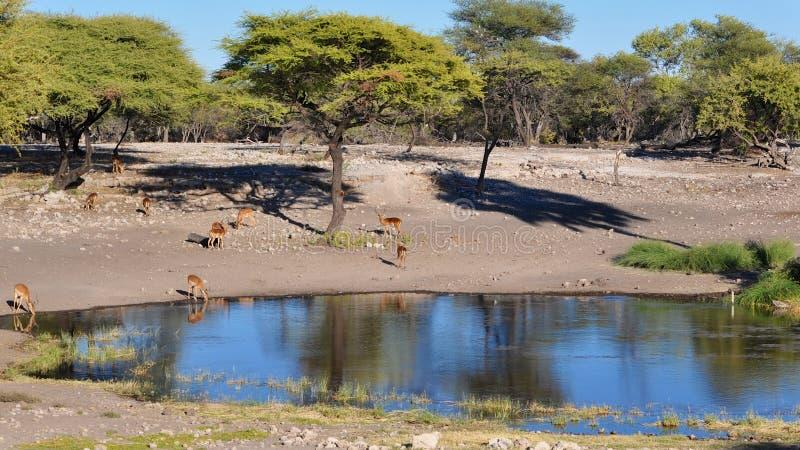 Dzielić podlewanie dziury w Namibia Afryka zdjęcie stock
