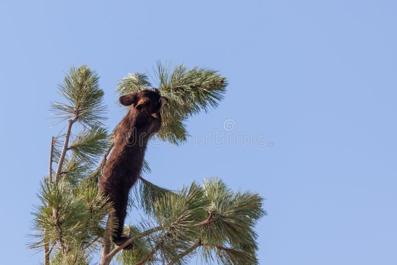 Dzielny Niedźwiedź zdjęcie stock