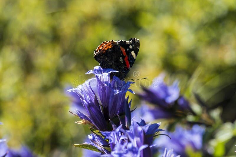 Dzienny motyli Czerwony Admiral siedzi na kwiacie wierzbowa gencjana zdjęcie stock