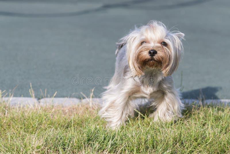 dzierżawienie Terrier pozuje trawy Yorkie pies obrazy stock