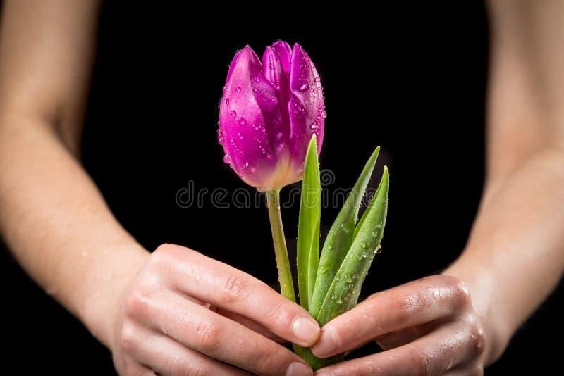Dziewczyn ręki trzyma mokrego różowego tulipanu zdjęcia royalty free