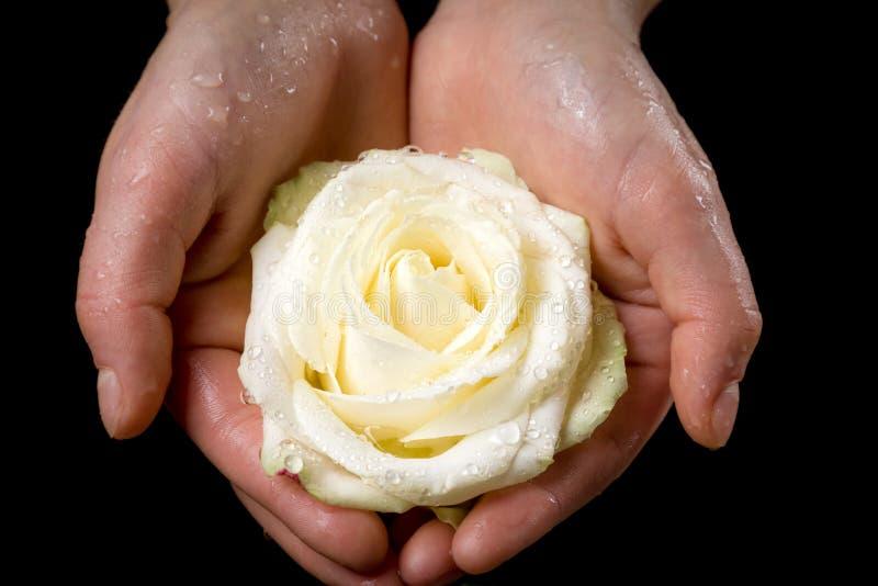 Dziewczyn ręki trzyma mokrej biel róży zdjęcie royalty free
