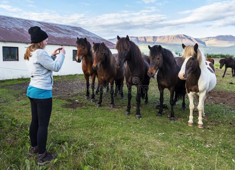 Dziewczyna fotografuje Islandzkich konie w gospodarstwie rolnym Varmahlid wioska obraz royalty free