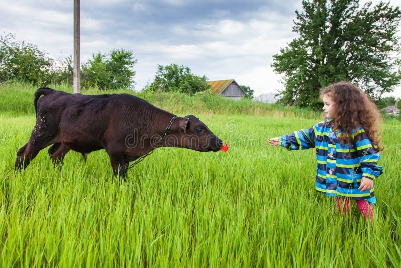 Dziewczyna karmi łydki trawą fotografia stock