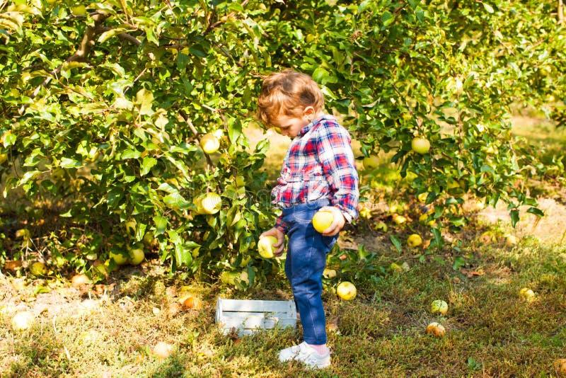 Dziewczynka zbiera jabłka do drewnianego pudełka obrazy royalty free