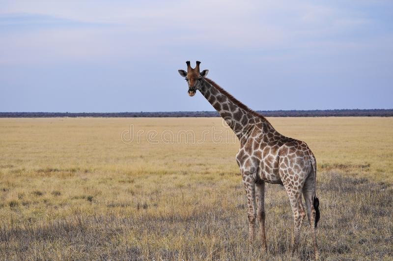 Dzika żyrafa w Etosha parku narodowym w Namibia obraz stock