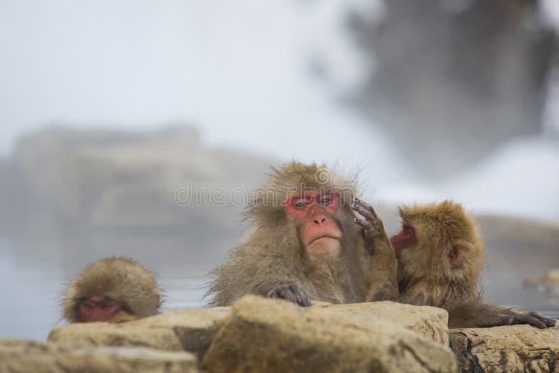 Dzika śnieg małpa: Zła Włosiana dzień niedola obrazy stock