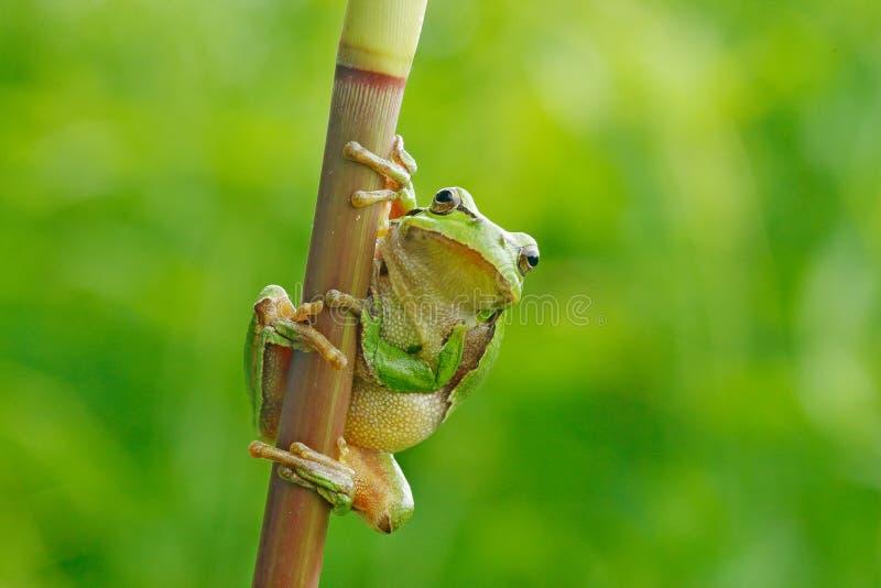 Dzika żaba na łące blisko rzeki, siedlisko Europejska drzewna żaba, Hyla arborea, siedzi na trawy słomie z jasnym zielonym tłem obraz royalty free