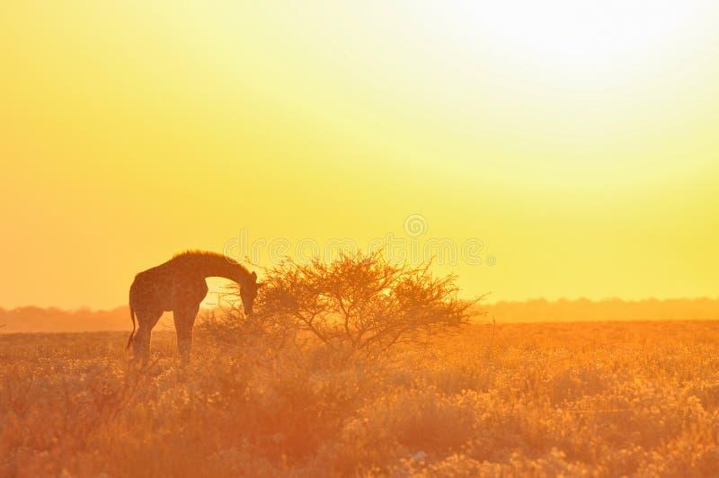 Dzika żyrafa na zmierzchu w Afrykańskiej sawannie obrazy stock