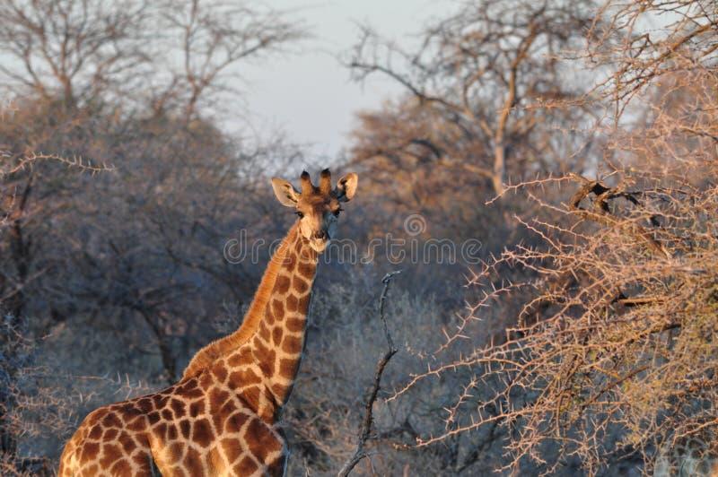 Dzika żyrafa na zmierzchu w Afrykańskiej sawannie zdjęcia stock
